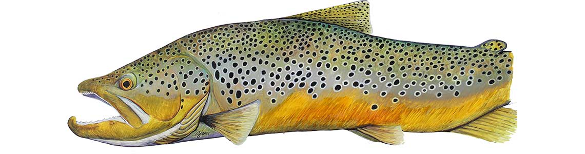 Brown Trout Art by Ty Hallock
